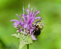 Fondo con una abeja que se sienta en las flores Foto de archivo