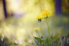 Fondo con una flor amarilla - un diente de león foto de archivo libre de regalías