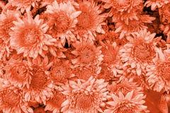 Fondo coralino de la flor del crisantemo imagen de archivo