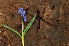 Fondo, corteccia di legno, ceppo di albero, taglio, albero degli anelli di albero Immagine Stock