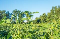 Fondo crescente della soia Immagine Stock Libera da Diritti