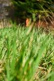 Fondo da bella erba succosa verde Fotografia Stock
