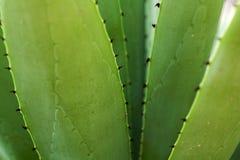 Fondo dalle foglie del cactus dell'aloe Immagine Stock