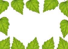 Fondo dalle foglie della betulla Immagine Stock