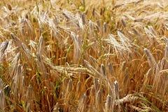 Fondo dalle piante del grano Fotografie Stock Libere da Diritti