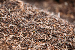 Fondo de Ant Colony Formica Rufa rojo Imagen de archivo