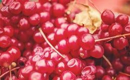Fondo de bayas maduras de chinensis chino del schisandra del Cymbopogon cosechada de vides Bayas rojas medicinales Foco selectivo Foto de archivo