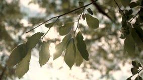 Fondo de Bokeh Follaje borroso de los árboles de arce en el contraluz del sol brillante acogedor de la puesta del sol con los sun almacen de metraje de vídeo