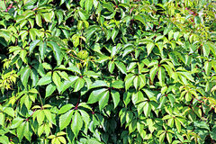 Fondo de brotes y de hojas las uvas salvajes Foto de archivo
