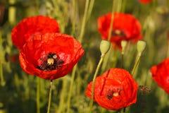 Fondo de florecer el primer rojo de las amapolas Imágenes de archivo libres de regalías