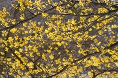 Arbusto del Hamamelis en la floración Fotos de archivo