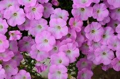 Fondo de flores rosadas fotos de archivo