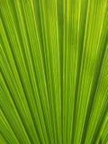 Fondo de hoja de palma Fotografía de archivo libre de regalías
