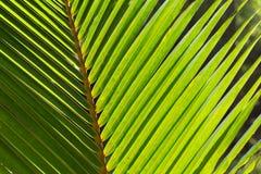 Fondo de hoja de palma de la foto de los Cocos Hoja de palma verde en luz del sol Fotografía de archivo libre de regalías