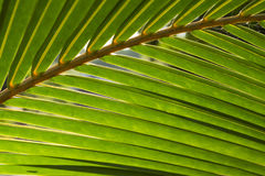 Fondo de hoja de palma mullido de la foto Hoja de palma verde en luz del sol Foto de archivo