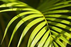 Fondo de hoja de palma soleado de la foto Hoja de palma verde en luz del sol Fotografía de archivo libre de regalías