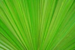 Fondo de hoja de palma verde fresco de la textura Foto de archivo libre de regalías