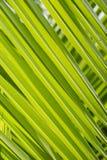 Fondo de hoja de palma verde Hojas de la planta tropical Foto de archivo