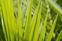 Fondo de hoja de palma verde Hojas de la planta tropical Fotos de archivo libres de regalías