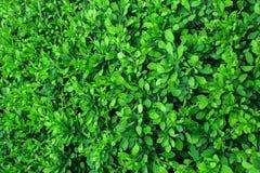 Fondo de hojas verdes Foto de archivo libre de regalías