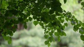 Fondo de hojas verdes, del verano o de la estación de primavera almacen de video