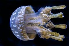 Fondo de Jelly Fish Sea Life Black con tentáculos foto de archivo libre de regalías