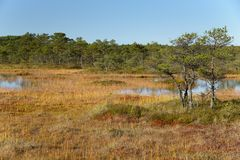 Fondo de Kakerdaja, naturaleza estonia del pantano de la tarde de septiembre Imagen de archivo libre de regalías