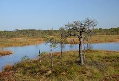Fondo de Kakerdaja, naturaleza estonia del pantano de la tarde de septiembre Imagenes de archivo