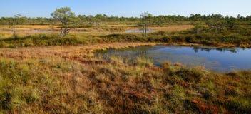 Fondo de Kakerdaja, naturaleza estonia del pantano de la tarde de septiembre Imágenes de archivo libres de regalías