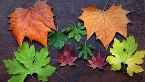 Fondo de la acción de gracias con la hoja de arce colorida Imagen de archivo libre de regalías