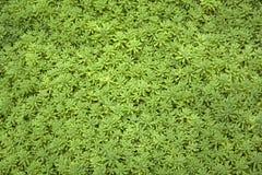 Fondo de la alfombra de la hierba Sedum del musgo del oro en el jardín fotos de archivo libres de regalías