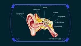 Fondo de la animación de los gráficos del oído del diagrama de la anatomía ilustración del vector