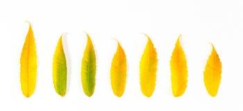 fondo de la bandera del otoño Hojas de otoño coloridas hermosas de la colección en el fondo blanco Foto de archivo