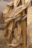 Fondo de la cáscara de maíz secada Imagen de archivo libre de regalías