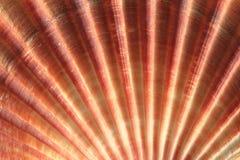 Fondo de la cáscara del mar Foto de archivo libre de regalías
