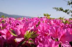 Fondo de la cama de flor de la azalea Fotografía de archivo libre de regalías