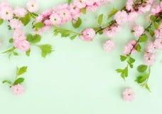 Fondo de la composici?n de las flores flores hermosas de Sakura del rosa en pálido - fondo verde fotos de archivo libres de regalías