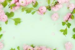 Fondo de la composici?n de las flores flores hermosas de Sakura del rosa en p?lido - fondo verde foto de archivo