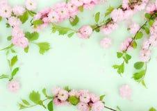 Fondo de la composici?n de las flores flores hermosas de Sakura del rosa en p?lido - fondo verde fotos de archivo