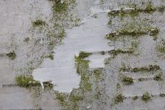 Fondo de la corteza de abedul blanco con la capa verde Imagenes de archivo