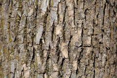 Fondo de la corteza de árbol de roble Imágenes de archivo libres de regalías