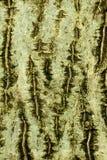 Fondo de la corteza de la nuez común Foto de archivo libre de regalías