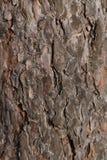 Fondo de la corteza de árbol de pino Imagenes de archivo