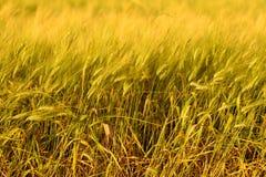 Fondo de la cosecha de la ca?da del oto?o D?a soleado, prado del oro amarillo del trigo fotografía de archivo