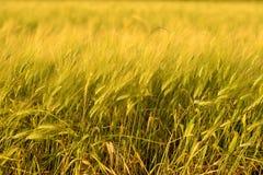 Fondo de la cosecha de la ca?da del oto?o D?a soleado, prado del oro amarillo del trigo fotos de archivo libres de regalías