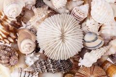 Fondo de la diversa clase de seeshells, cierre para arriba imagen de archivo libre de regalías