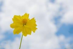 Fondo de la flor amarilla fresca y del cielo azul Fotografía de archivo