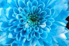 Fondo de la flor azul del crisantemo, cierre para arriba Imagenes de archivo