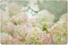 Fondo de la flor de la hortensia Foto de archivo libre de regalías