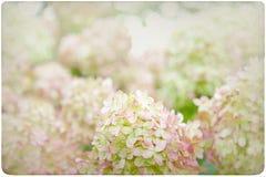 Fondo de la flor de la hortensia Fotografía de archivo libre de regalías
